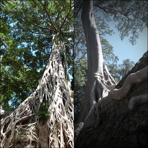 Arboles en Ta Prohm - Angkor