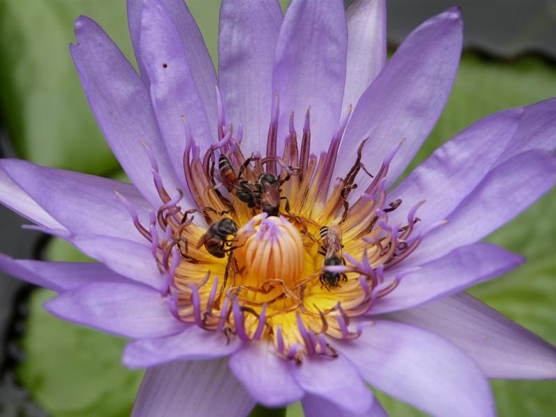 Flor de Tailandia