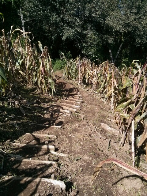 Camino de bajada entre maizales