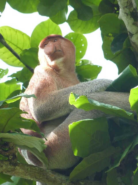 Mono Proboscis en Bako