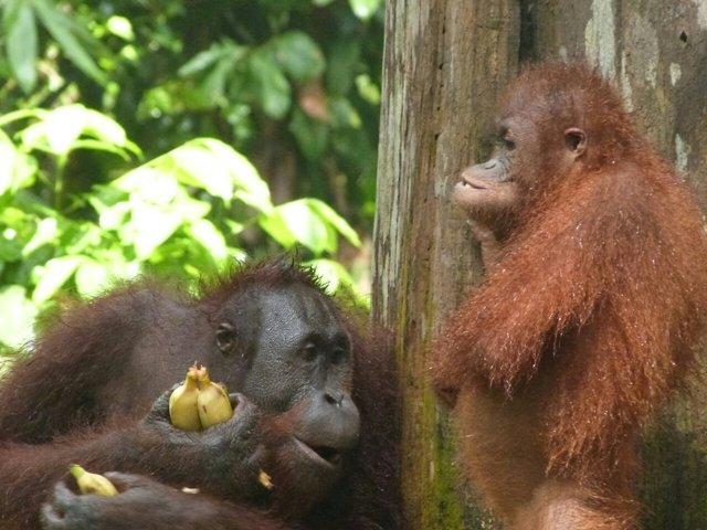 Escenas preciosas de orangutanes