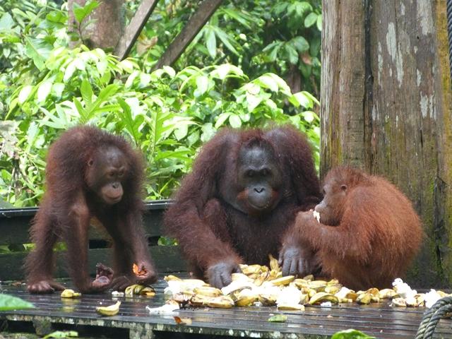 Orangutanes alimentándose en Sepilok