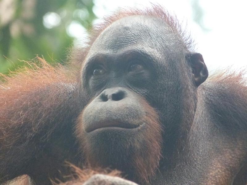 Primer plano de un orangutan en Sepilok