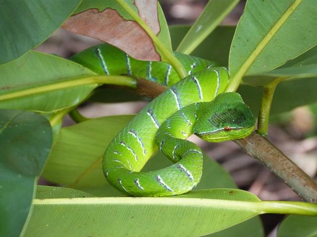 Serpiente en Bako
