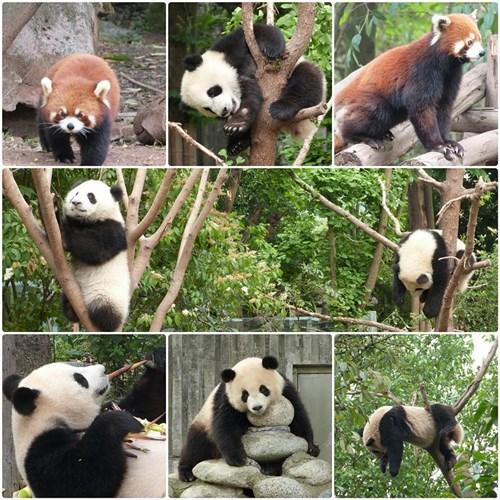 Pandas en Chengdú
