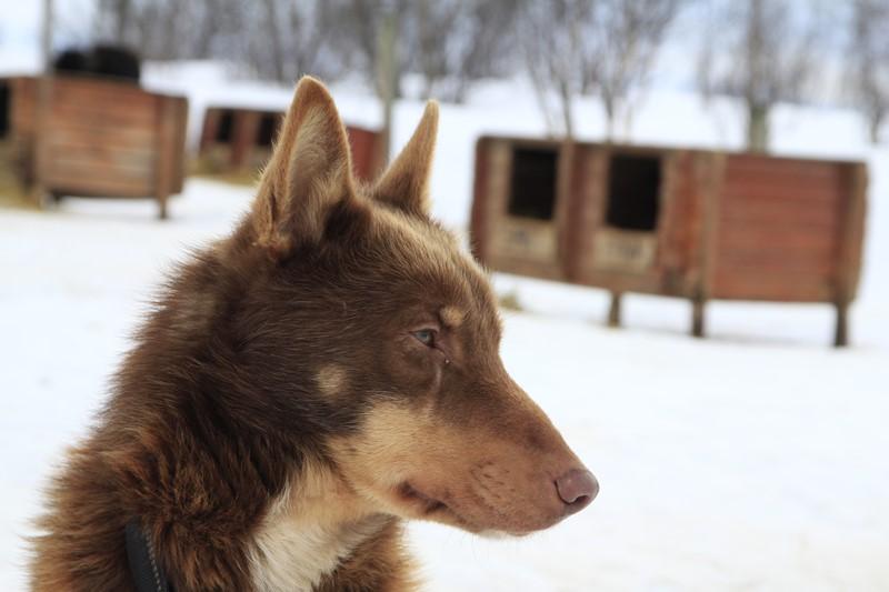 Primer plano de un Alaska Husky