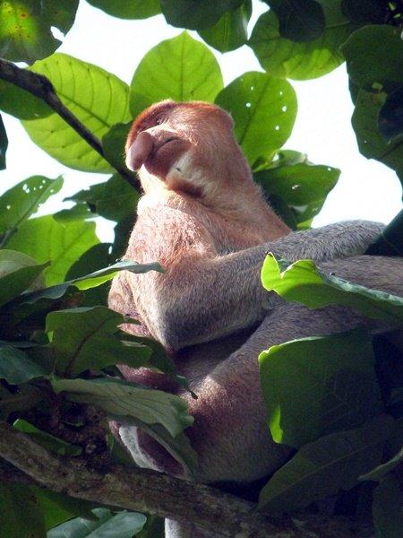 El mono narigudo en Bako