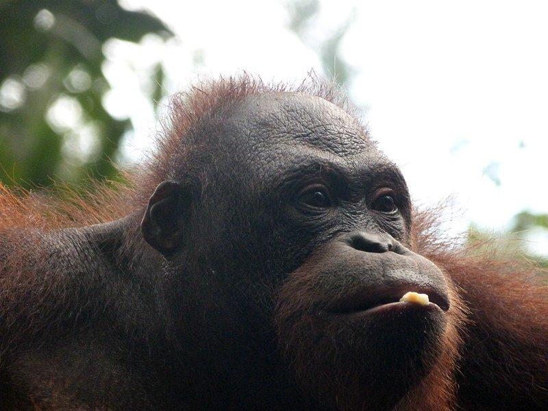 Primer plano de un orangután