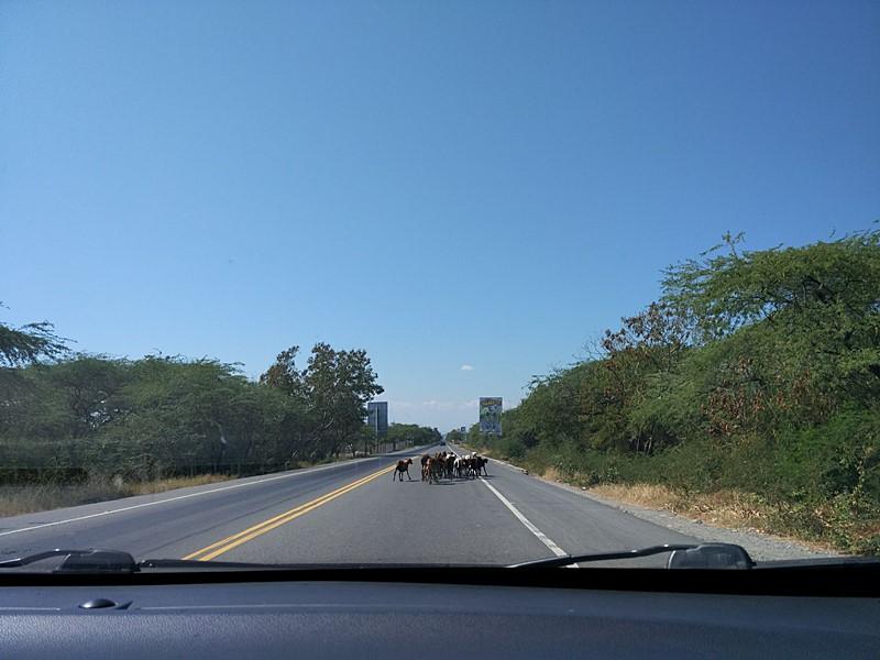 Cabras cruzando la carretera