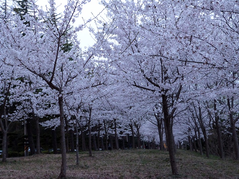 Cerezos en flor en Sokcho