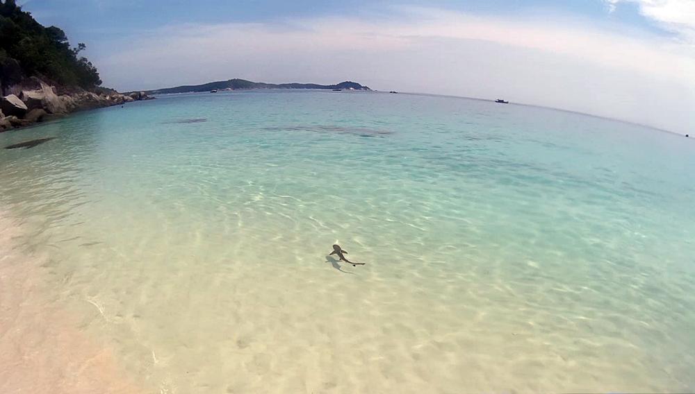 Pequeño tiburón nadando en la orilla de la playa tortuga