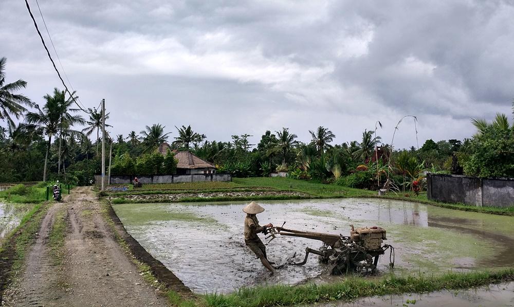 En Ubud preparando para la siembra de arroz